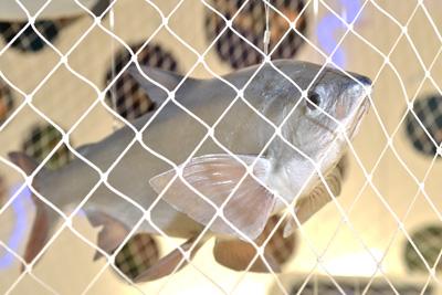 Fisch-im-Netz